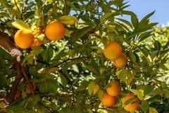 Mandaryn owoc na drzewie Zdjęcie Royalty Free