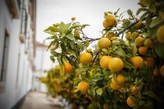 Mandaryn owoc na drzewie Zdjęcia Stock