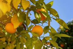 Mandaryn owoc na drzewie Fotografia Stock