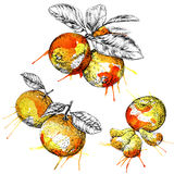 Mandaryn pomarańcze gałąź z liśćmi (cytrus) Wręcza patroszonego botanicznego set z owoc, gałąź i liśćmi, Obrazy Royalty Free