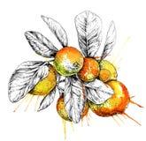 Mandaryn pomarańcze gałąź z liśćmi (cytrus) Wręcza patroszonego botanicznego set z owoc, gałąź i liśćmi, Zdjęcie Stock