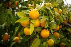 Mandaryn pomarańcze które znaczą Szczęsliwego dla chińczyków Zdjęcie Stock