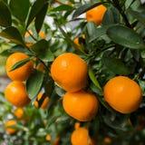 Mandaryn pomarańcze Obrazy Royalty Free