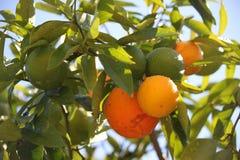 mandarynka zdjęcie stock
