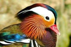 mandarynka kaczki Obraz Royalty Free
