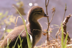 mandarynka kaczki Zdjęcie Stock