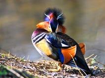 mandarynka kaczki Zdjęcia Royalty Free