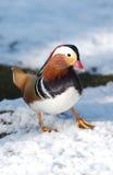 mandarynka kaczki Obrazy Royalty Free