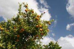 mandarynki drzewo Fotografia Royalty Free