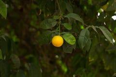Mandarynki owocowy obwieszenie od drzewa zdjęcia royalty free