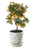 Mandarynu drzewo Zdjęcie Stock