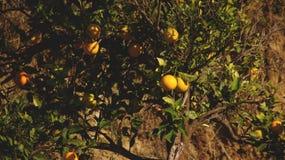 Mandarynu drzewo Obraz Royalty Free