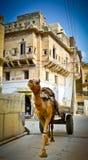 Mandawa Camel Royalty Free Stock Photo