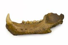 Mandíbula del oso de la cueva Imagen de archivo libre de regalías
