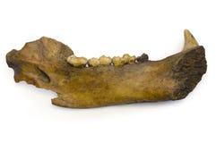 Mandíbula del oso de la cueva Foto de archivo libre de regalías