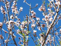 Mandel-Blüte Stockfotos