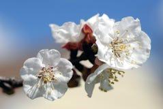 Mandel-Blüten Lizenzfreie Stockbilder