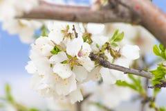 Mandel-Blumen Lizenzfreies Stockfoto
