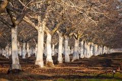 Mandel-Obstgarten Lizenzfreie Stockfotos