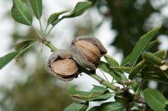 Mandel in seinem Baum Stockfotos