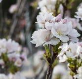 Mandel-träd i blom Arkivbild