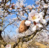 Mandel und Blume von Mandeln am Ende der Niederlassung eines Mandelbaumviel von weißen Blumen am Hintergrund an einem Frühlingsta stockbilder