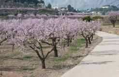 Mandelbäume in ³ n Valle de Jalà in Alicante stockfotos