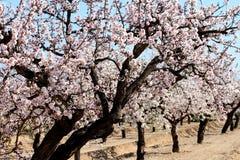 Mandelbäume Stockfoto