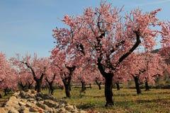 Mandelbäume Stockbilder