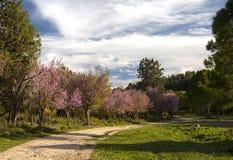 Mandelbäume Lizenzfreie Stockbilder