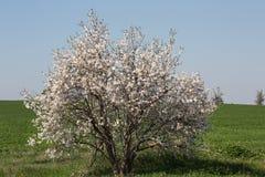 Mandelbaum auf einem grünen Gebiet Lizenzfreie Stockfotografie