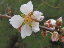 Mandelbaum blüht im Februar auf der adriatischen Küste Stockfotos
