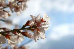 Mandelbaum blüht mit blauem Himmel mit Wolkenhintergrund stockfotografie
