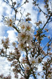 Mandelbaum blüht mit blauem Himmel mit Wolkenhintergrund lizenzfreie stockfotos