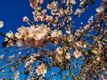 Mandelbaum in der vollen Blüte lizenzfreie stockfotografie
