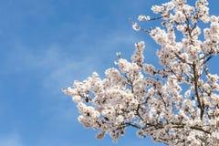 Mandelbaum-Frühjahrblühen von weißen Blumen über blauem Himmel Stockfoto