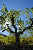 Mandelbaum, hintergrundbeleuchtet im Frühjahr lizenzfreies stockbild