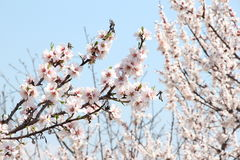 Mandelbaum im Frühjahr Lizenzfreie Stockbilder
