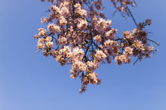 Mandelbaum in voller Blüte auf blauem Himmel im Frühjahr Schönes f Lizenzfreies Stockfoto