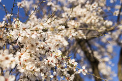 Mandelbaum in voller Blüte auf blauem Himmel im Frühjahr Schönes f Stockfoto