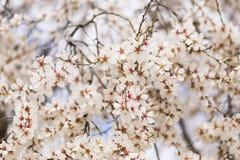 Mandelbaum in voller Blüte auf blauem Himmel im Frühjahr Schönes f Stockbild