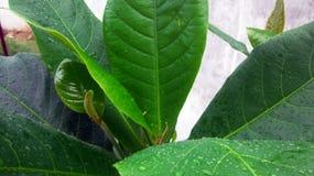 Mandelbaumblatt nach Regen-Tropfen Stockfoto