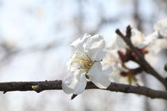 Mandelbaumblumen lizenzfreie stockfotos