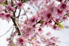 Mandelblüte lizenzfreie stockfotos