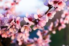 Mandelblüte Stockbild