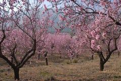 Mandelblüte auf dem Baum im Frühjahr stockbilder