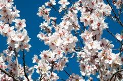 Mandelblüte auf Zweigen. Stockfotos