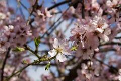 Mandelblüte im Frühjahr in Bulgarien lizenzfreie stockfotografie