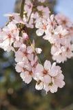 Mandelblüte im Frühjahr in Bulgarien stockfotografie