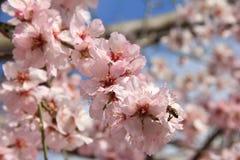 Mandelblüte im Frühjahr in Bulgarien stockbild